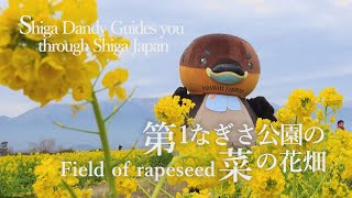 Field of rapeseed【Shiga Dandy Guides you through Shiga Japan】