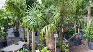Old Man Palm/Rare Palm Tree/
