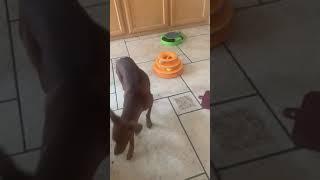 Miniature Pinscher Puppies Videos