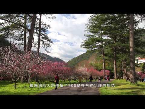 櫻雪奇緣 春遊武陵櫻花季影片縮圖