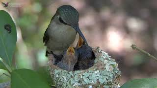 Bee Hummingbird - Feeding Chicks