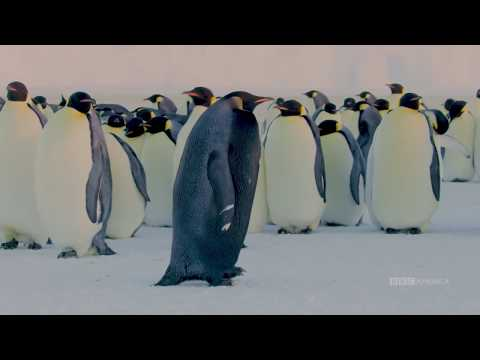 This extremely rare melanistic black emperor penguin was filmed by the BBC during their filming of Dynasties