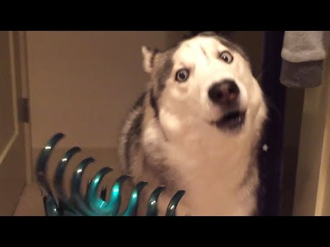 30 Incredible Huskies | Funny Dog Video Compilation 2017