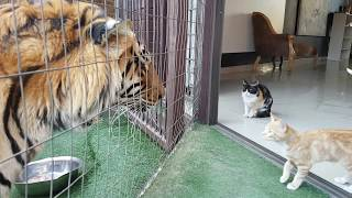 Download Youtube: Mother cat looking out for kittens safety by the tigers