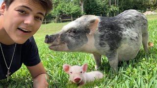 My PET PIG is having PIGLETS!!