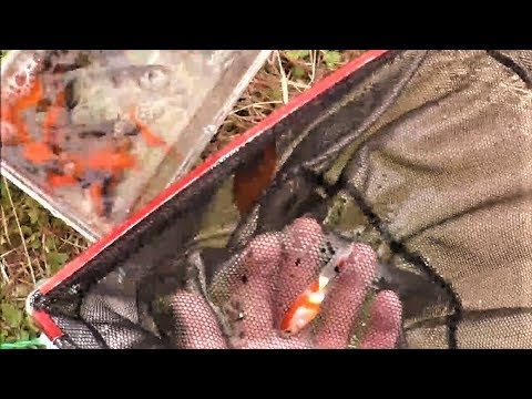 真冬の金魚とりでコメットやら琉金やらデメキンやらを捕まえた
