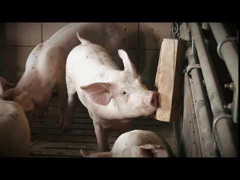 Schwein konventionell - Beschäftigungsmaterial