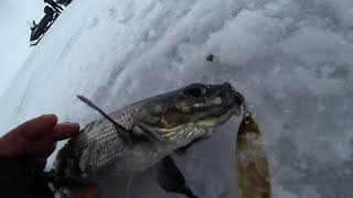 Ловля сига в мае на онежском озере