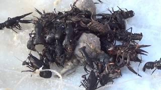 Ловля раков зимой на китайские раколовки!!! Очередная проверка 70 раков!!!