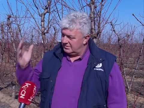 Rezidba voćnjaka u Podunavlju u punom jeku