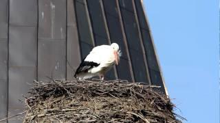 preview picture of video 'Der erste Storch 2011 auf dem Storchenhaus in Neustadt am Rübenberge'