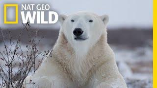 Polar Bears 101   Nat Geo Wild
