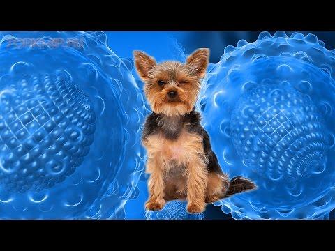 Гепатит у собак