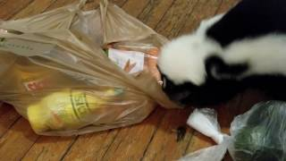 Skunk goes grocery shopping!!