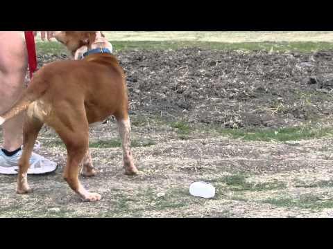 LILY MAE- LOVELY GIRL, an adoptable Shar-Pei & Australian Cattle Dog / Blue Heeler Mix in Danbury, TX