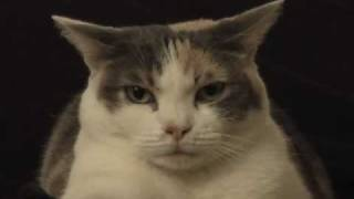 Cat sitting on a vibrating phone