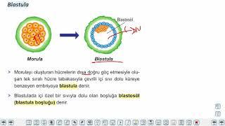 Eğitim Vadisi 11.Sınıf Biyoloji 19.Föy İnsanda Büyüme ve Gelişme 1 Konu Anlatım Videoları