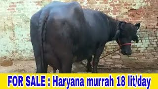 murrah buffalo hyderabad - 免费在线视频最佳电影电视节目