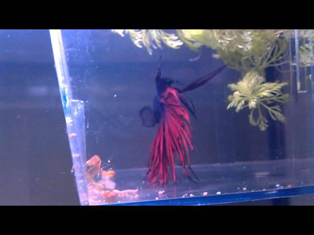 Betta tank, how to keep multiple fish in 1 tank