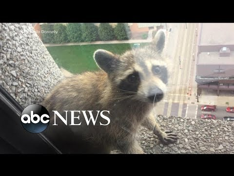 Raccoon stuck on side of building reaches internet stardom