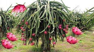 Dragon Fruit Planting Experiment Dragon Fruit Garden