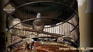 Suara Perkutut Bangkok Irama Lengkap [loop]