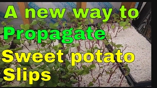 Starting sweet potato slips in perlite