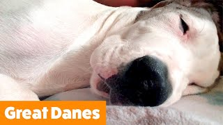 Cutest Great Danes | Funny Pet Videos