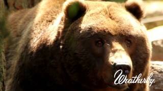 Weatherby Tip Of The Month - How To Judge The Size Of A Bear