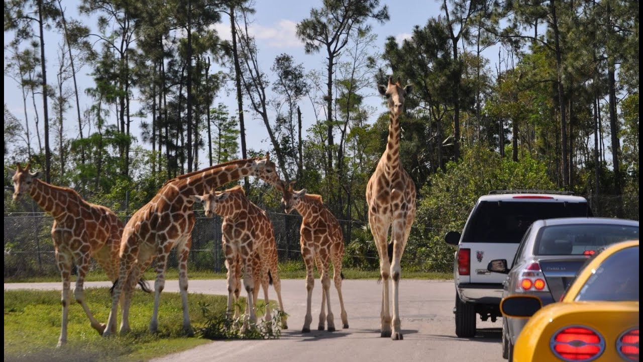 5 Drive Through Zoos And Safaris In