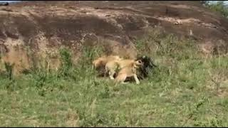 Baffalo rescues his female from 3 lions!!!