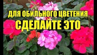 Почему не цветет ГЕРАНЬ / ПЕЛАРГОНИЯ?
