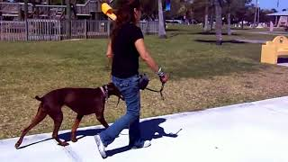 Copy of Doberman Xena Dog Aggression FLEXI DISASTER! Shaping Heel Dogtra Remote Pager E Collar