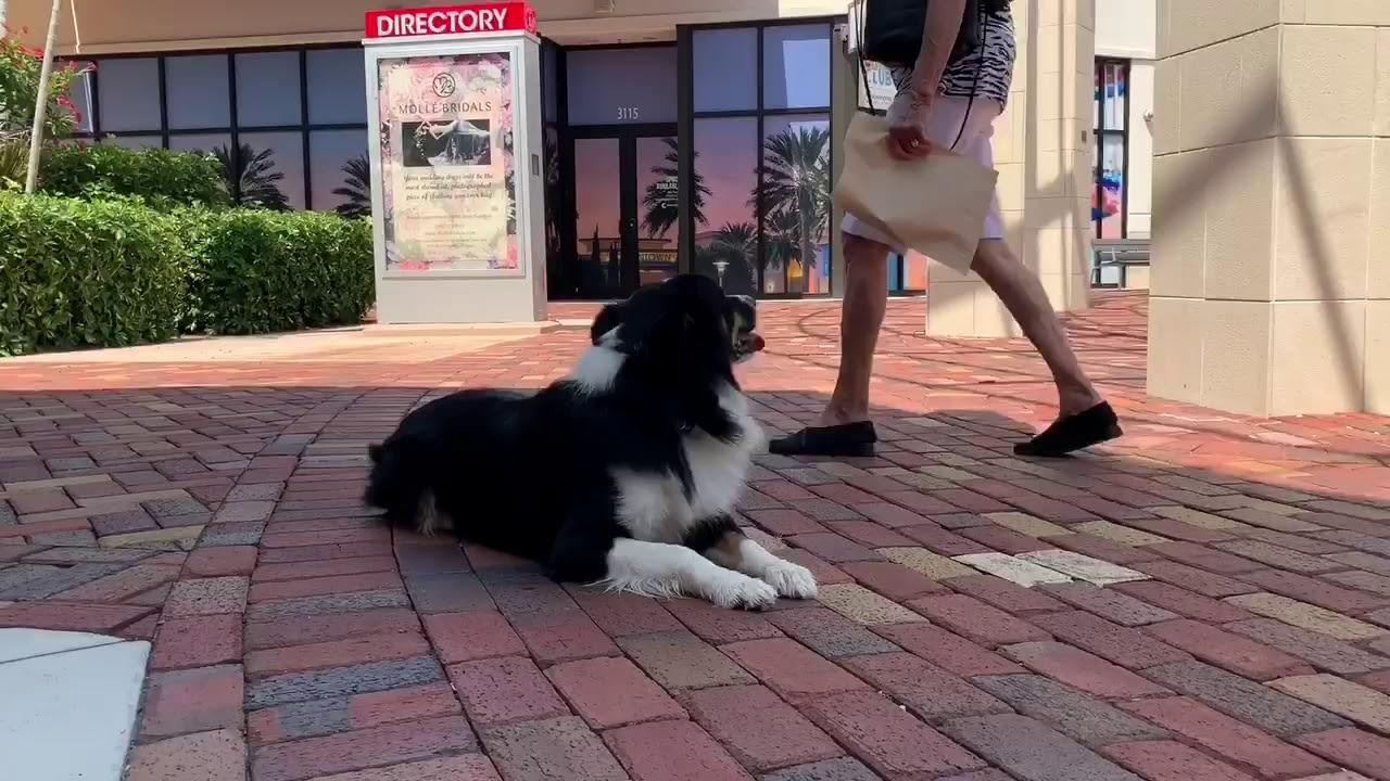 Buddy the Aussie Adventure Dog Graduate