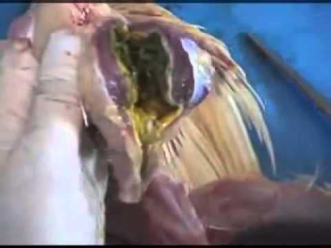 فيديو يشرح طريقة تشريح الدواجن