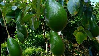 Cara Cepat Pohon Alpukat Jadi Besar | Make Avocado Grow Fast