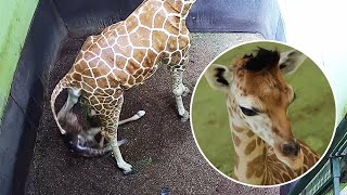Baby Giraffe Named 'Corona' Born In Lockdown