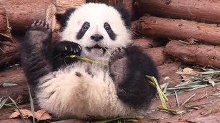 preview picture of video 'Panda Baby at Chengdu 成都のパンダの赤ちゃん(六一)'