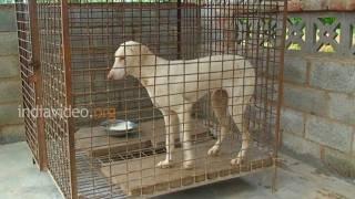 Rajapalayam dog, Tamilnadu