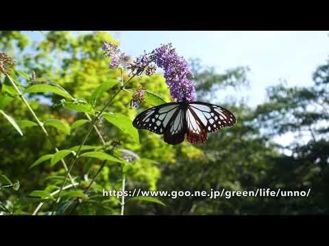 9月24日の庭のアサギマダラ