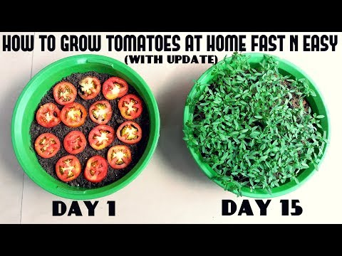, title : 'Grow Tomatoes from Tomatoes (Easiest Method Ever With Updates)