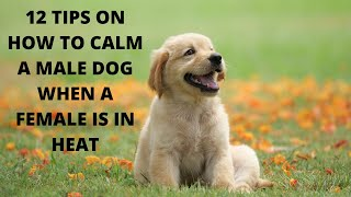 How to calm a male dog when a female is in heat -12 methods