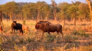 JDM Wildlife - Golden Wildebeest 2015