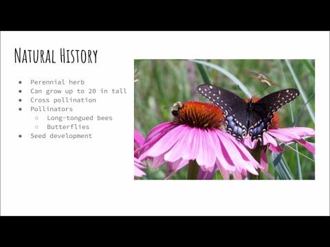Download Echinacea angustifolia HD Video