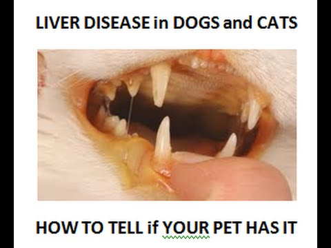 Video Liver Disease: How To Tell If Your Dog or Cat Has It