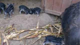 preview picture of video 'Wollschweine, Ferkel und Mutter'