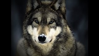 13 Wolf Facts