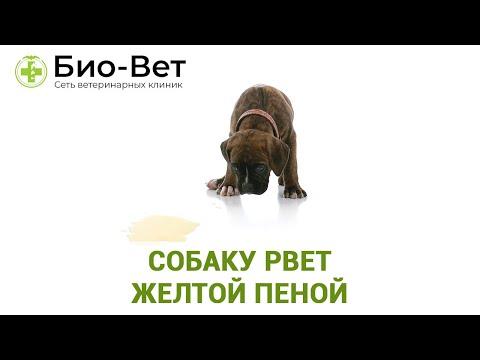 Собаку Рвет Желтой Пеной & Почему У Собаки Идет Желтая Пена Изо Рта. Ветклиника Био-Вет