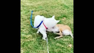 Border Collie Puppies Videos
