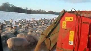 Feeding Sheep_0001.wmv